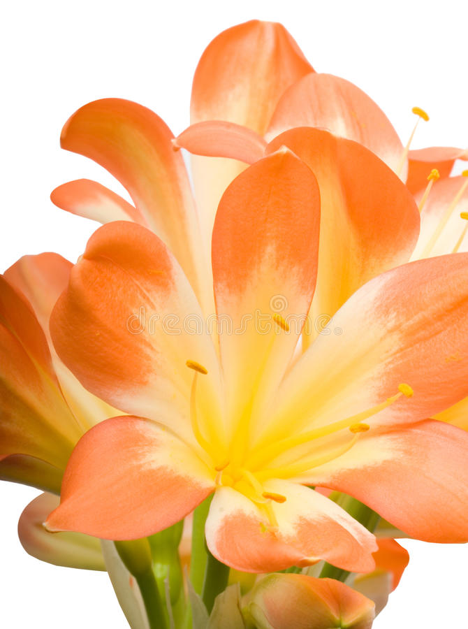 Orange Clivia Miniata Nahaufnahme stockbild