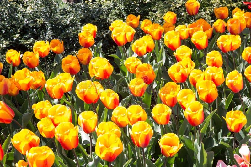 Orange Closeup för blommaträdgård arkivfoto