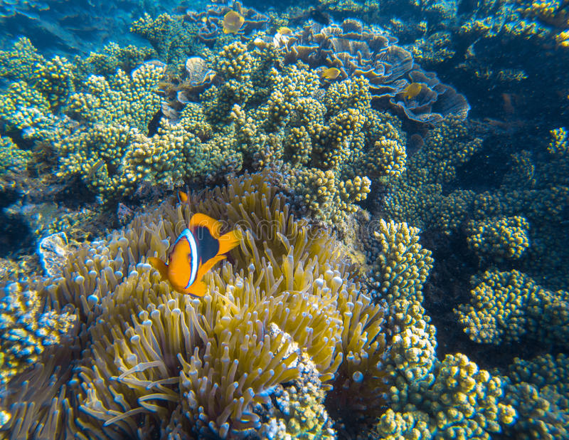 Orange Clown fish in actinia tentacles. Clownfish in sea plant. Small coral fish with red fins. Cute marine animal. Coral reef species of exotic island royalty free stock photography