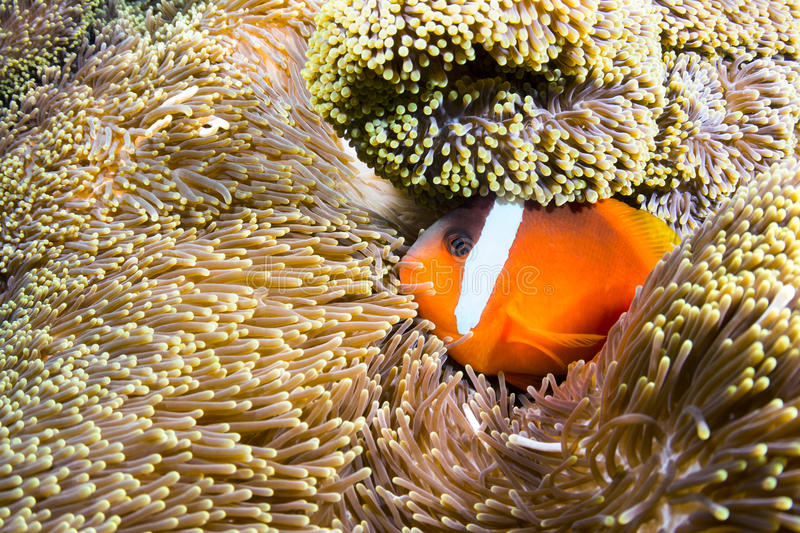 Orange clownfish. A beautiful orange clownfish rests in the protective tentacles of a sea anemone in the tropical sea of Fiji royalty free stock image
