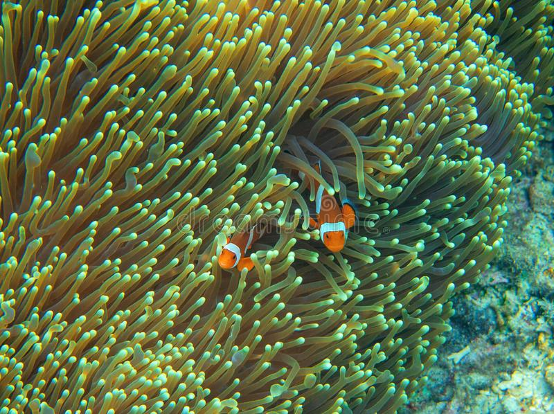 Orange clownfish in actinia. Coral reef underwater photo. Nemo fish family. Tropical seashore snorkeling or diving. Undersea wildlife. Coral reef and marine stock photos