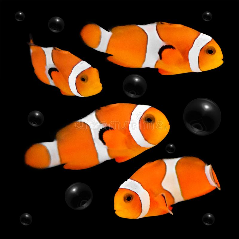 Orange clownfish on dark background with bubbles. Clown fish royalty free stock photography