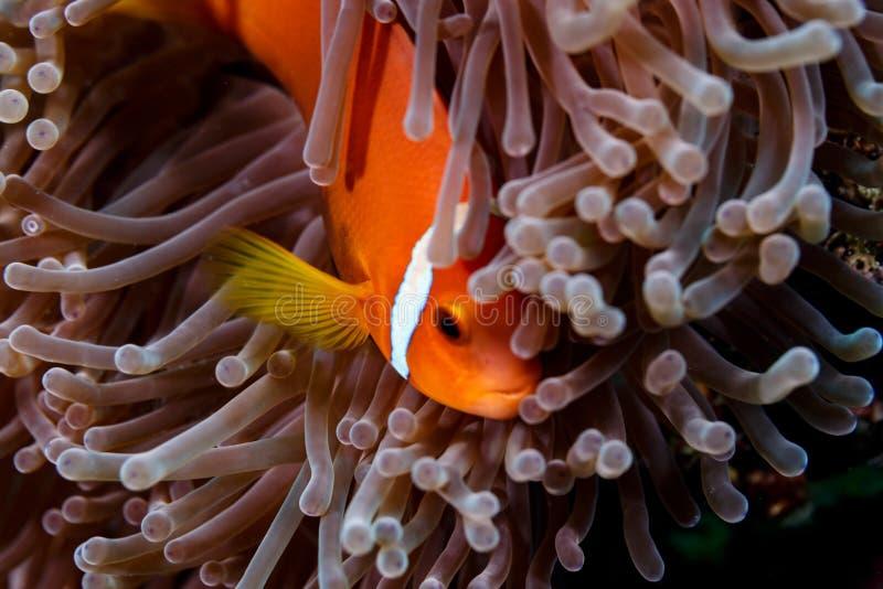 Orange clownfish, en anemonfisk som döljer i tentakel för havsanemon royaltyfria foton