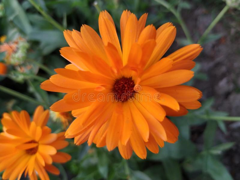 Orange color beautiful flower with red brown color dots in centre royalty free stock images