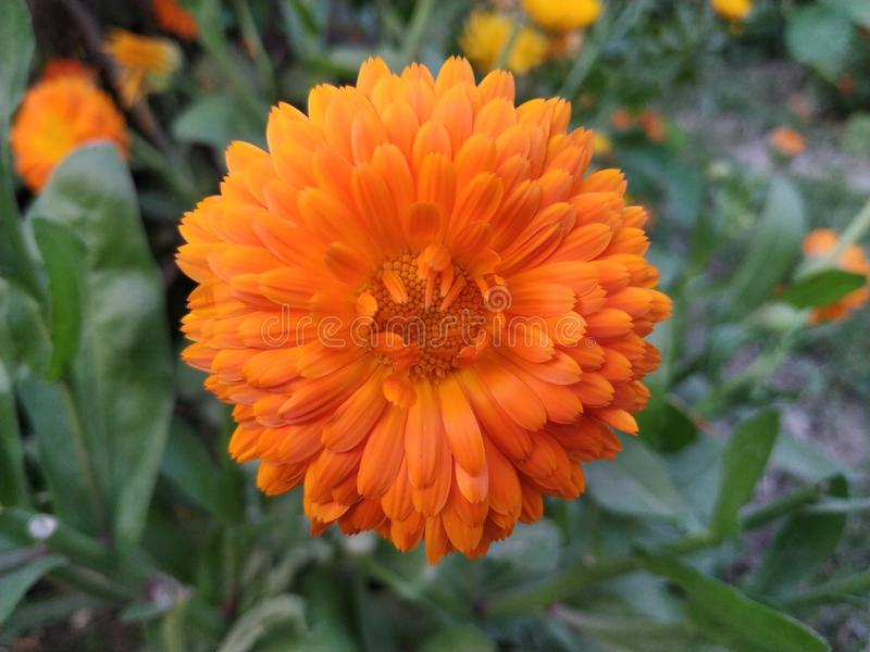 Orange color beautiful flower with rorange color dots in centre stock photo
