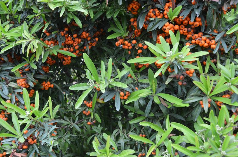 Orange color wild berries with natura light stock images