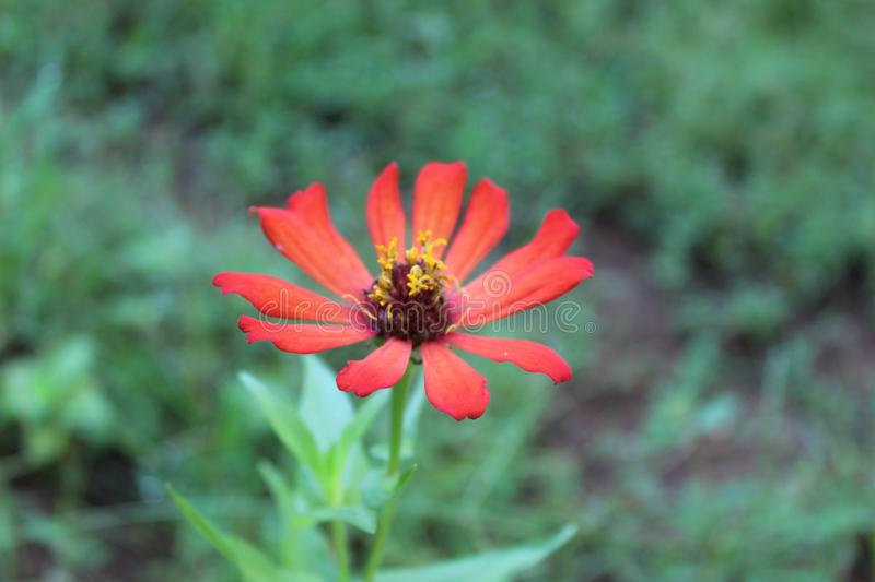 Orange color Zinnia flower in blur background stock images