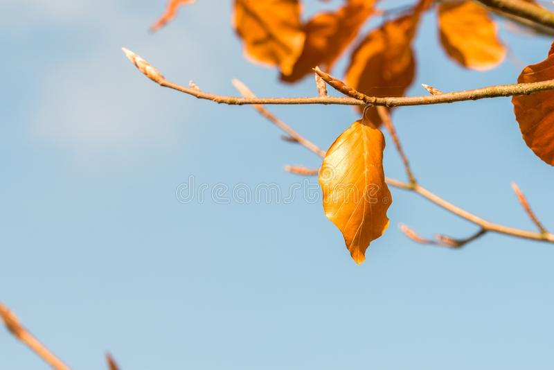 Orange colored autumn leaves on a tree.  stock photo