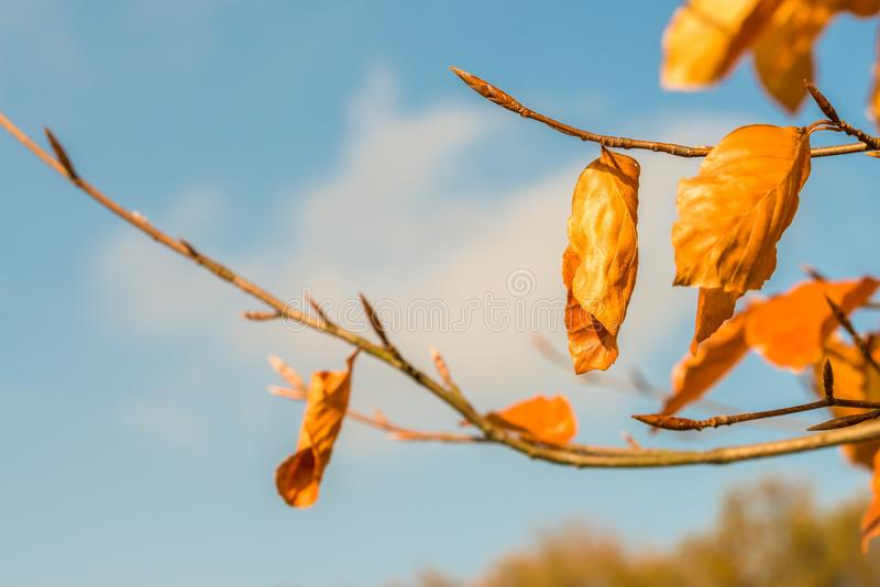 Orange colored autumn leaves on a tree.  stock photos