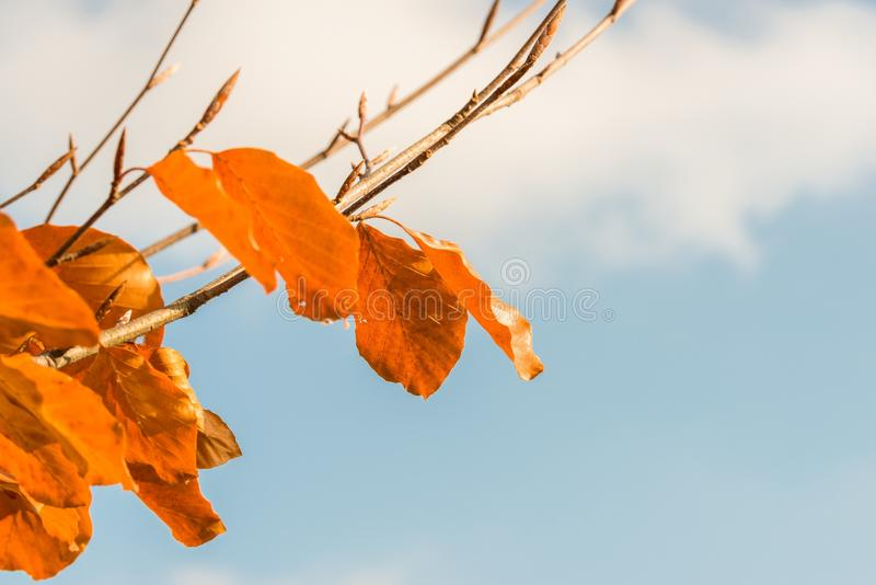 Orange colored autumn leaves on a tree.  stock photography