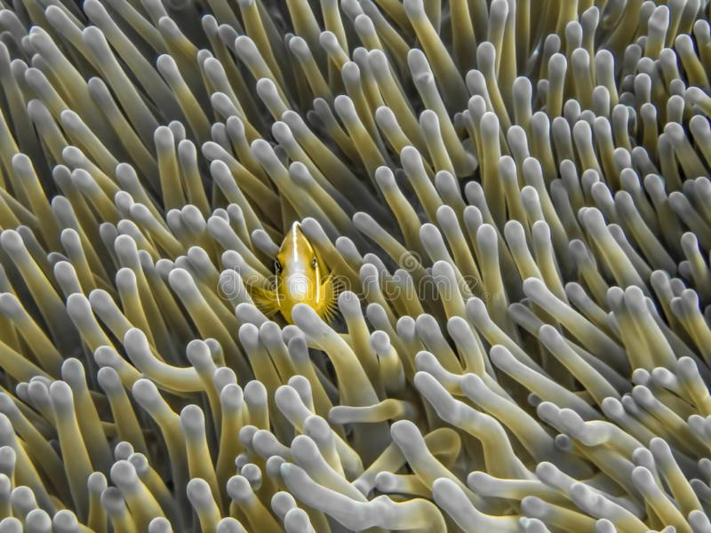 Orange colored pink anemonefish in tentacles of anemone underwater. Orange colored pink anemonefish in full frame of anemone tentacles underwater in Palau royalty free stock image