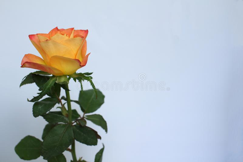 An orange-colored rose and green foliage resting on a white background royalty free stock photos