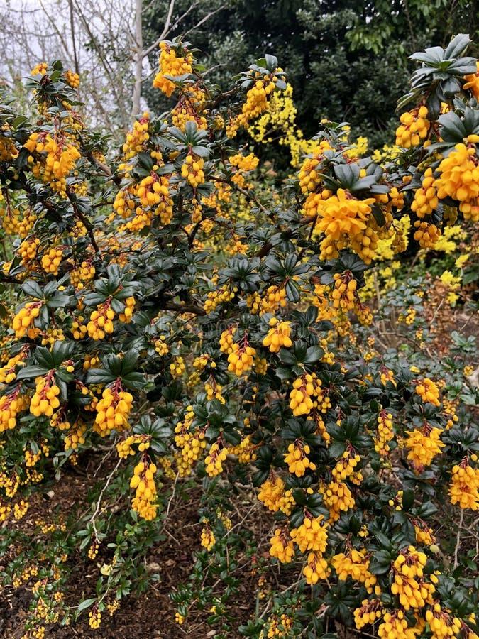 Orange colour Berberis. Berberis flowers in garden stock image
