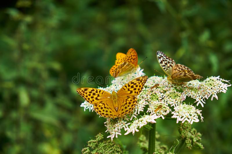 Orange coloured butterflies resting on a white wild flower near a forest with one of them facing the camera.  royalty free stock image