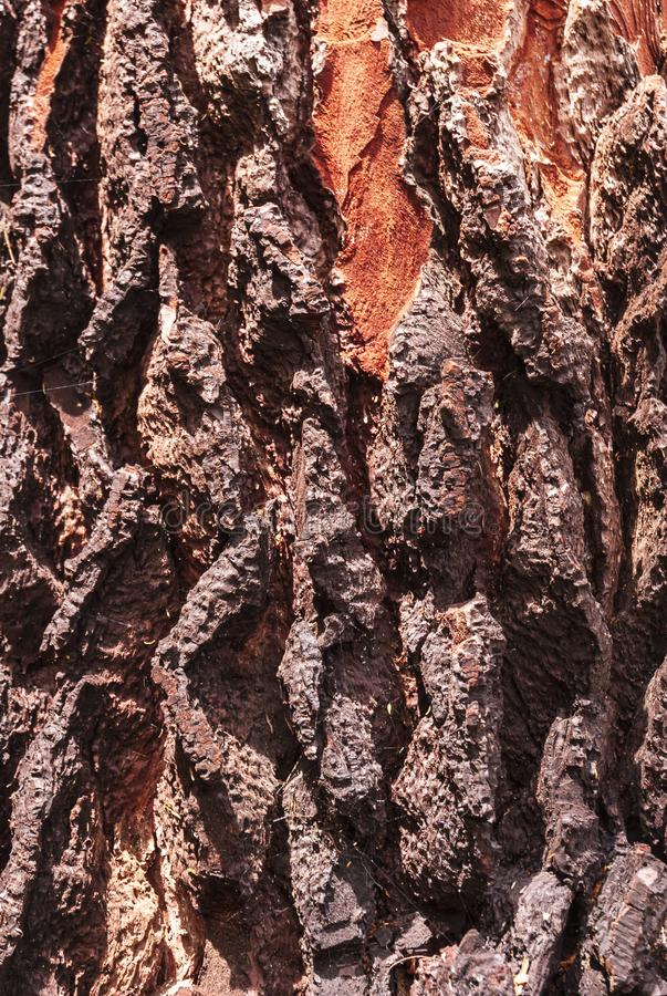 Orange coloured tree bark royalty free stock image