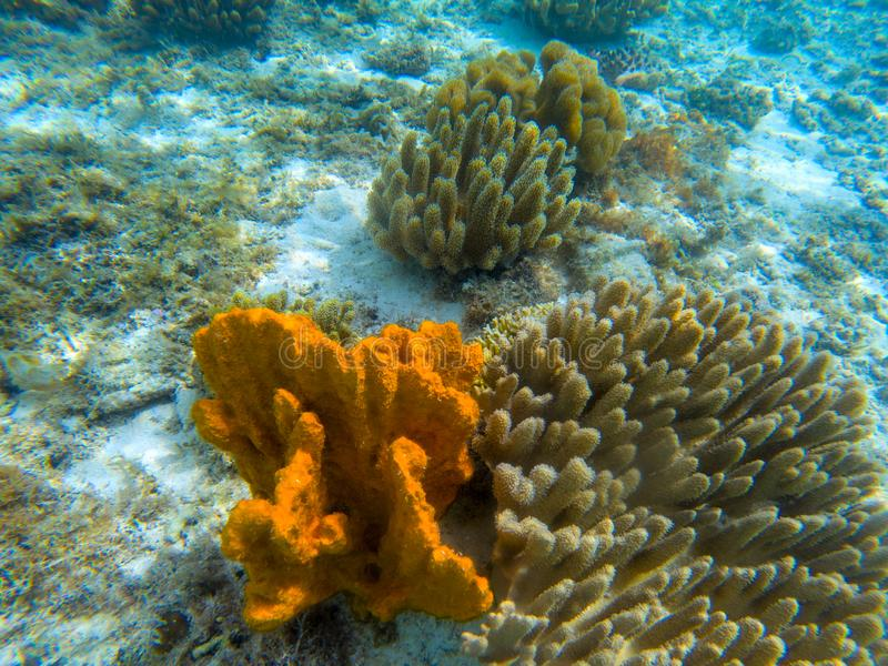 Orange coral on seashore, underwater photo. Marine animal in tropical sea shore. Coral reef formation on white sand. Oceanic ecosystem. Tropical island seaside royalty free stock image
