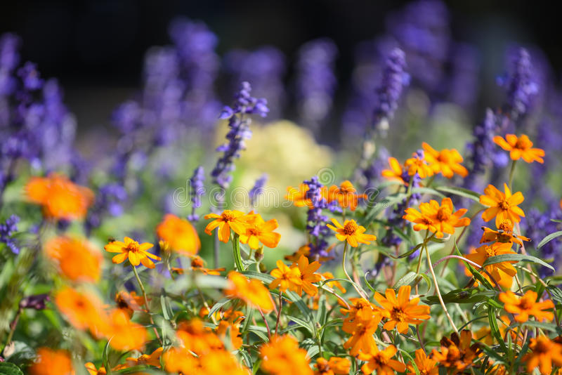 Orange cosmos flower in the garden. Closeup of orange cosmos flower in the garden, beautiful flora in spring season royalty free stock photos