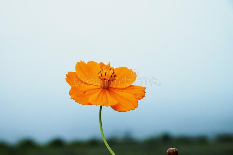 orange cosmos flower stock image