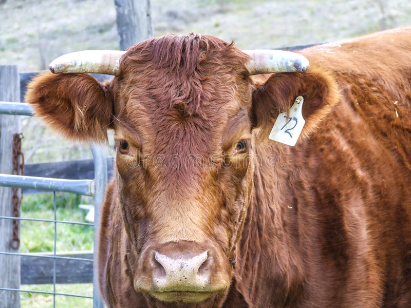 Orange cow staring at camera. Head of orange limousin beef cow staring at camers with horns and ear tag royalty free stock images