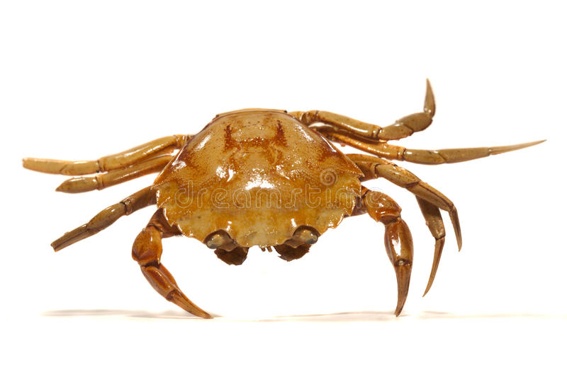 Download Orange crab stock image. Image of marine, isolated, closeup - 17456097