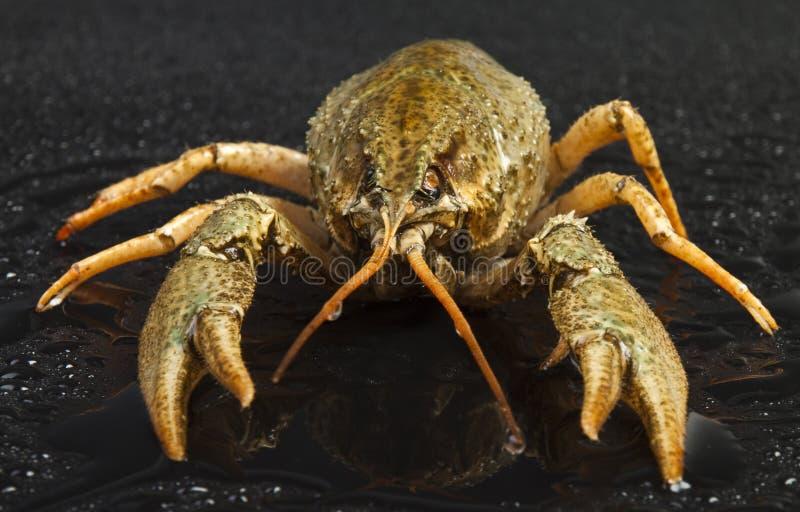 Orange crayfish royalty free stock photography