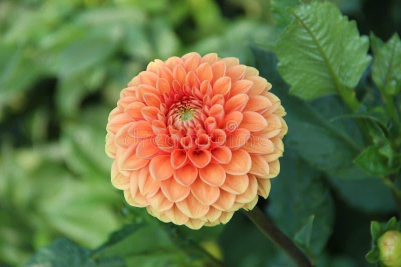 Orange crizanteme royalty free stock photo