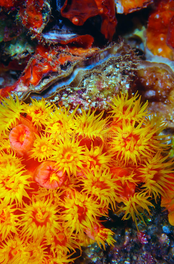Orange Cup Coral Tubastrea coccinea and Scallop royalty free stock photos