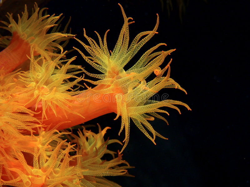 Orange cup corals royalty free stock images