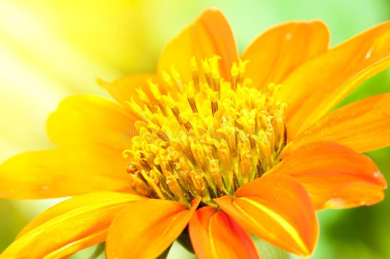 Orange Dahlia stock photography