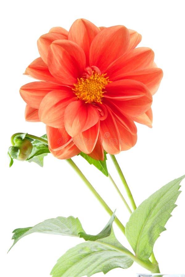 Orange dahlia stock image