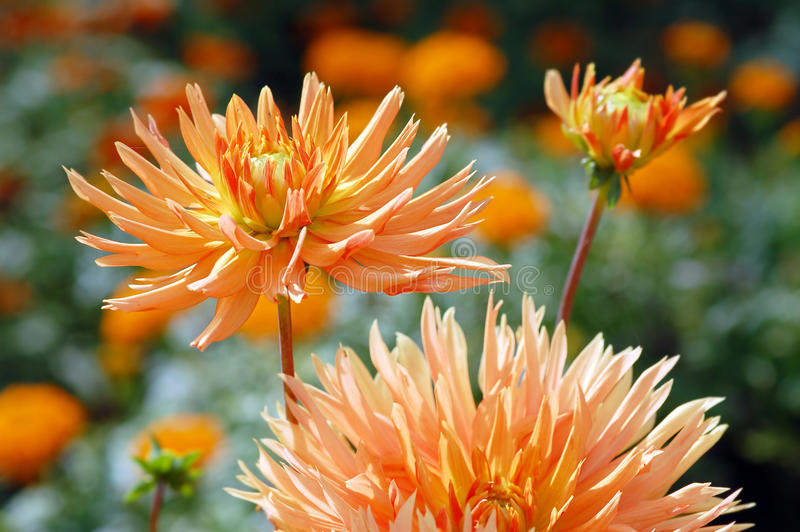 Orange dahlia blossom in summer autumn time. Orange dahlia blossom in summer and autumn time stock photos