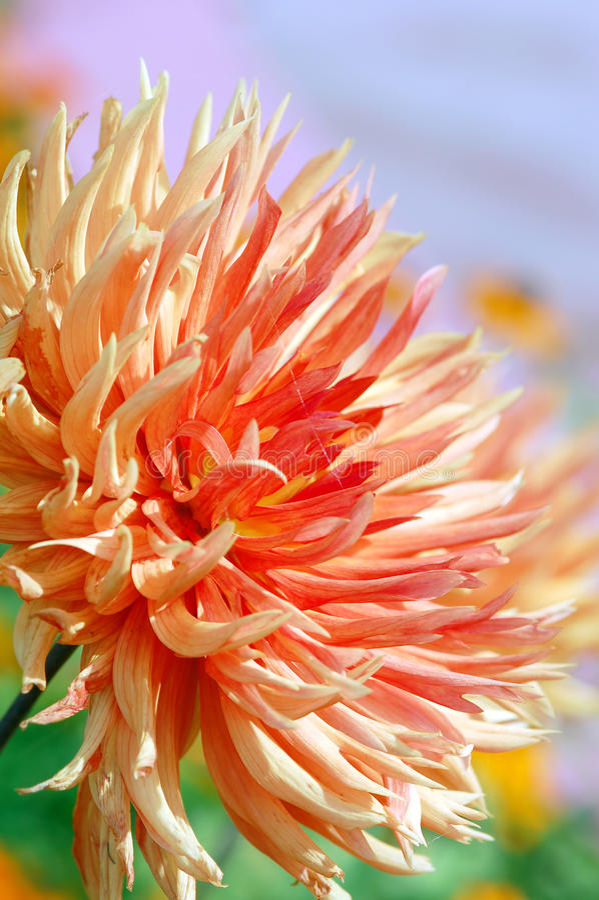 Orange dahlia blossom in summer autumn time. Orange dahlia blossom in summer and autumn time stock photography