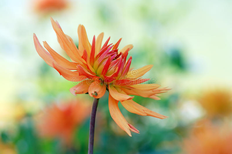 Orange dahlia blossom in summer autumn time. Orange dahlia blossom in summer and autumn time royalty free stock photo