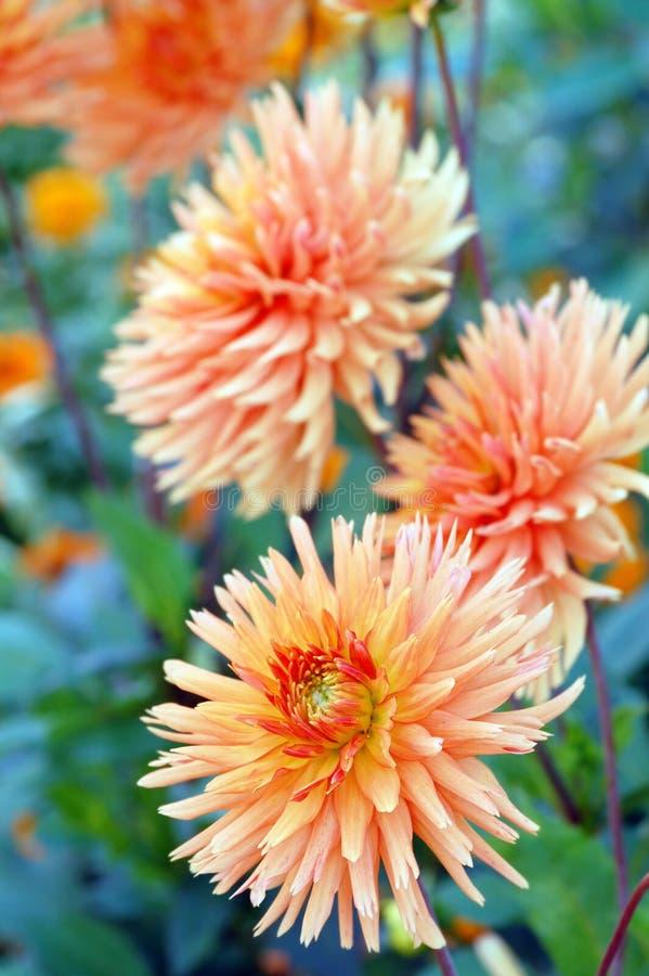 Orange dahlia blossom in summer autumn time. Orange dahlia blossom in summer and autumn time stock photo