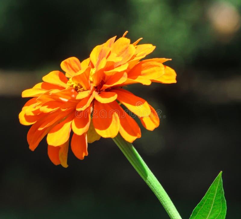 Orange Dahlia blossom in the summer sun. Orange Dahlia flower blossom growing in the summer afternoon sun. Green leaf and long stem contrast the beautiful orange royalty free stock photos