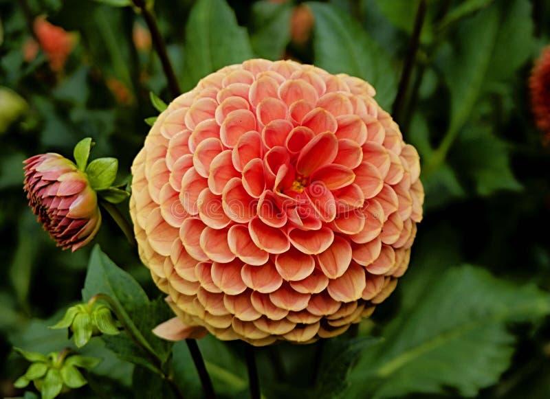 Orange Dahlia flower stock images