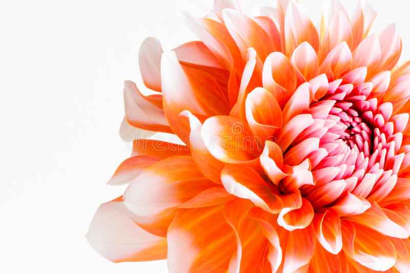 Orange dahlia stock photography