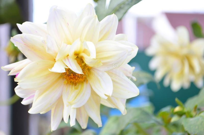Orange dahlia in the garden. Semi cactus flower heads, spiky petals, blooming in late summer and autum royalty free stock photo