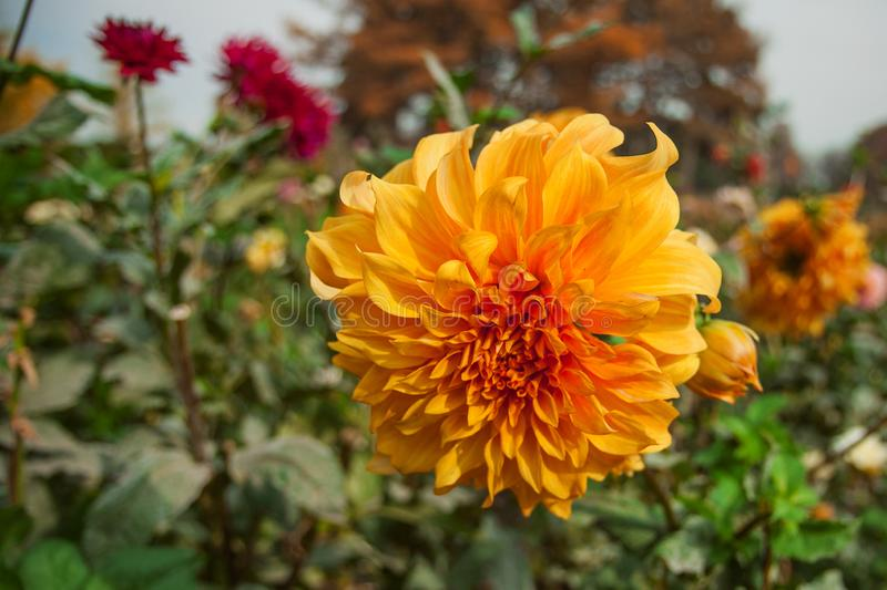 Orange dahlia with other flowers and green leaves. Floral field. Autumn garden plants royalty free stock images