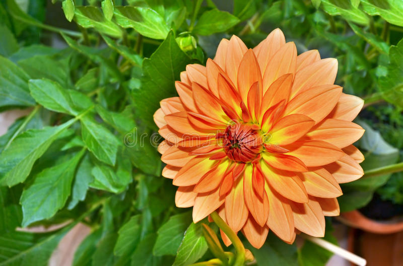 Orange dahliablomma royaltyfri foto