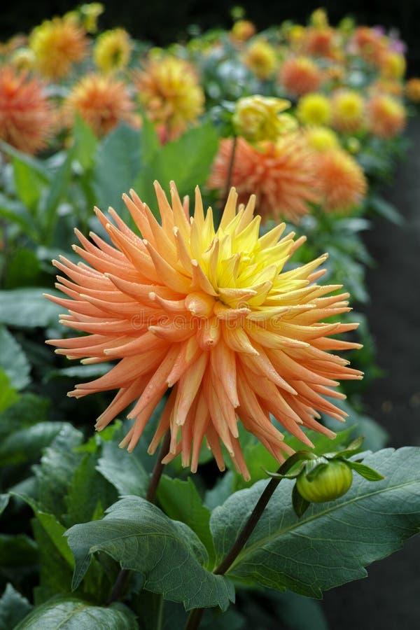 Orange dahliablomma för lax, härlig bukett eller garnering för arkivfoton