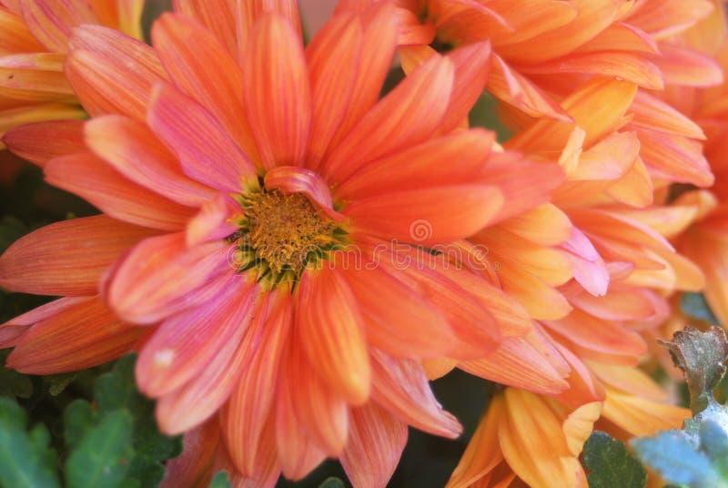 Orange dahlias stock images