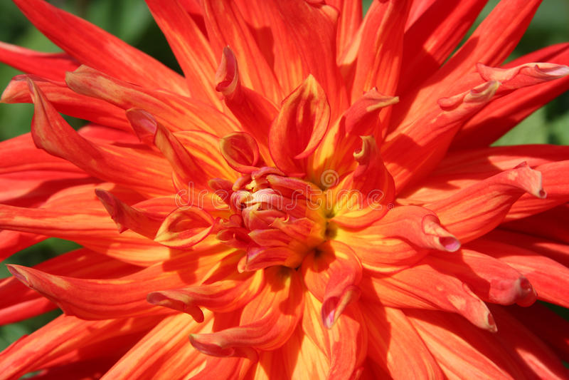 Orange Dahlie lizenzfreie stockbilder