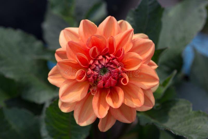 Orange Dahlie stockbild