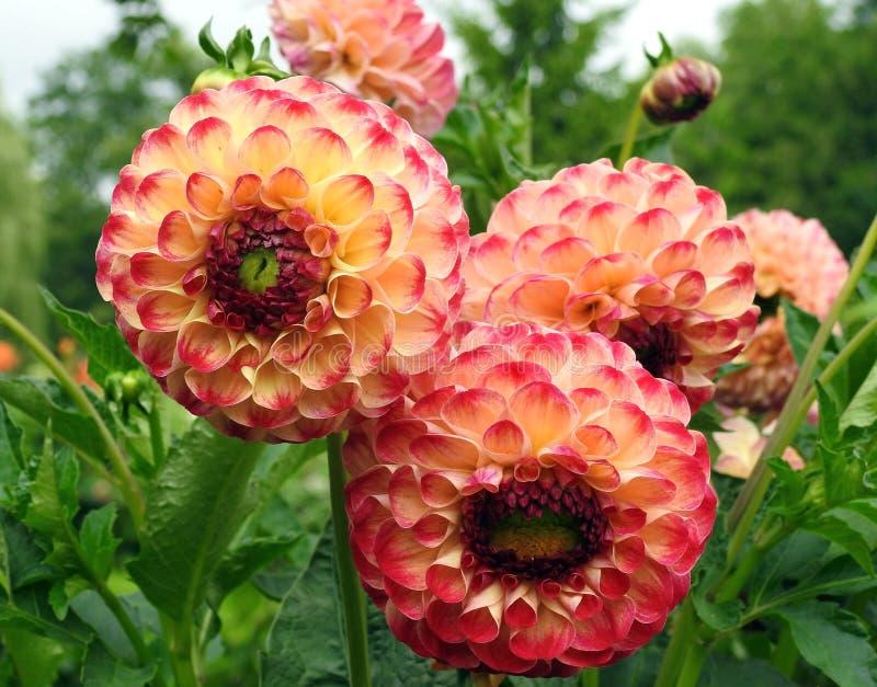 Orange Dahlie-Blumen stockbilder