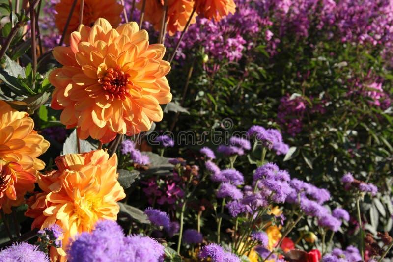 Orange Dahlien unter purpurroten Blumen stockfotografie