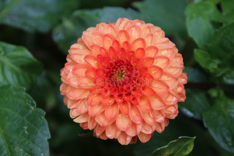 Orange Dahlienblume im Detail im Hauge in den Niederlanden stockbild