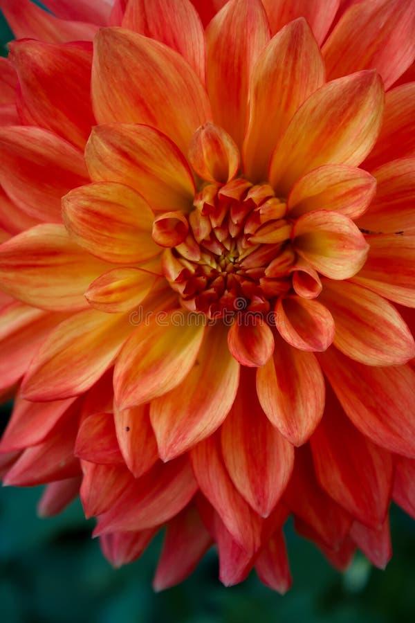 Orange Dahliengladiator in der Blüte lizenzfreies stockfoto