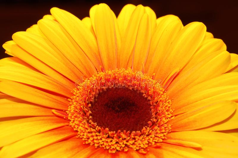 Orange daisy royalty free stock image