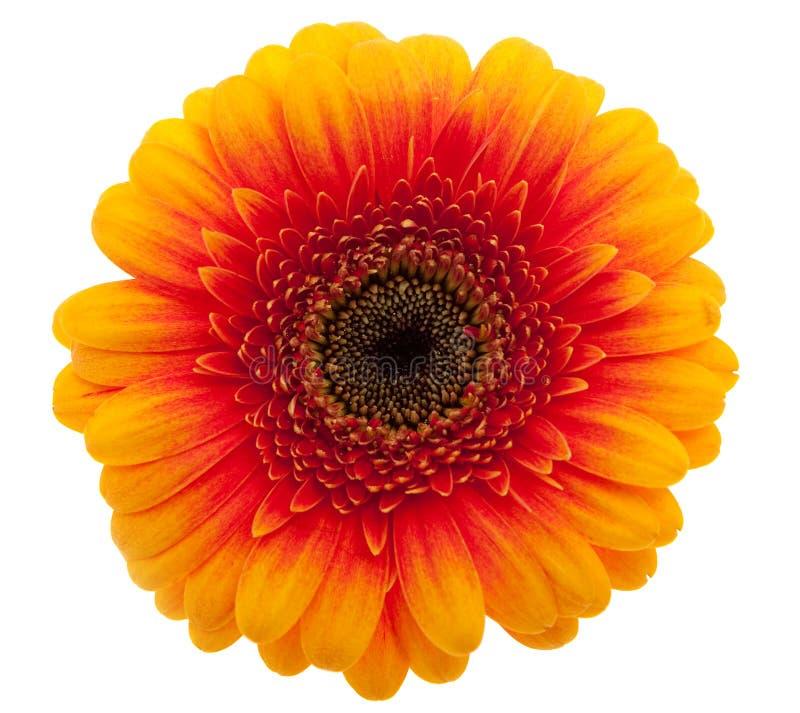 Free Orange Daisy Flower Royalty Free Stock Image - 13484706
